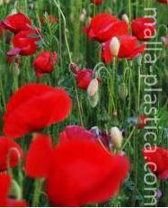 Cultivo de flor de amapola.